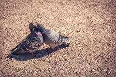2 одина другого голубя целуя, романтичная концепция Стоковое Изображение RF