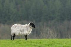 одинокие овцы Стоковое Фото