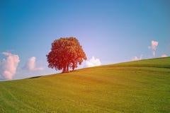 Одиночная группа дерева на поле Стоковые Изображения RF