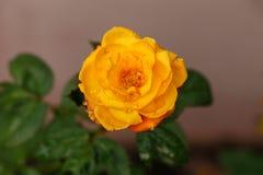 Одиночная зацветая желтая роза в саде, взгляд крупного плана стоковые фото