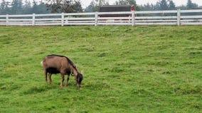 Одиночная коричневая коза пася в белой ограженной зоне поголовья фермы акции видеоматериалы