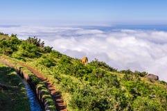 Одиночная корова пасет вдоль levada над облаками, Мадейры стоковое изображение rf