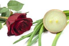 Одиночная красная роза с отрезанным свежим луком стоковые фото