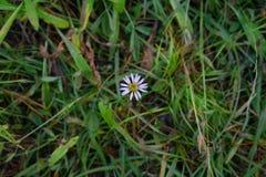 Одиночная маргаритка растя в травянистом поле Стоковое Фото