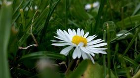 Одиночная маргаритка snug в траве стоковое фото rf