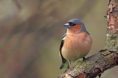 Одиночная мужская птица зяблика на ветви дерева Стоковое Изображение RF