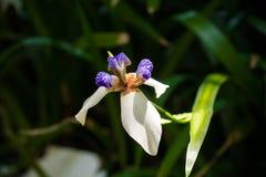 Одиночная одичалая белая голубая радужка Стоковое Изображение