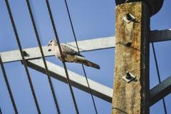 Одиночная птица голубя на электрических проводах Стоковое Фото