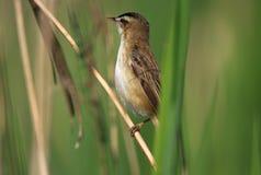 Одиночная птица певчей птицы осоки на камышовом стержне во время вложенности весны Стоковое Изображение