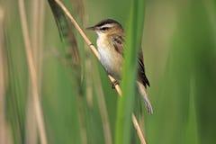 Одиночная птица певчей птицы осоки на камышовом стержне во время вложенности весны Стоковое фото RF