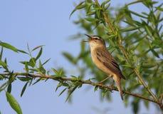 Одиночная птица певчей птицы осоки на сезоне ветви дерева весной Стоковое Фото