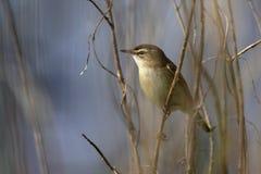 Одиночная птица певчей птицы осоки на сезоне ветви дерева весной Стоковое Изображение RF