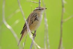 Одиночная птица певчей птицы осоки на сезоне ветви дерева весной Стоковые Фото