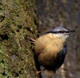 Одиночная птица поползневого на сезоне ветви дерева весной Стоковая Фотография