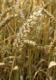 одиночная пшеница стоковые фотографии rf