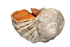 Одиночная раковина моря улитки моря изолированная на белой предпосылке Стоковое Изображение RF
