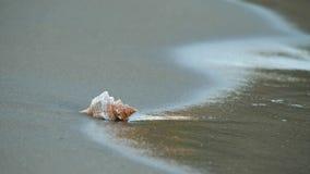 Одиночная раковина на пляже, море развевает приходить к seashore очистить, принять, к крышке акции видеоматериалы