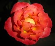 Одиночная роза апельсина Стоковое Изображение RF