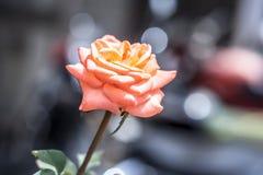 Одиночная роза апельсина Стоковое Изображение