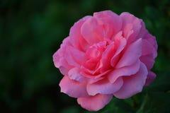Одиночная роза пинка в саде красивым bokeh Стоковая Фотография RF