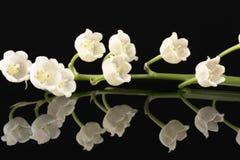 Одиночная хворостина цветков весны majalis Convallaria изолированных на черной предпосылке Стоковая Фотография