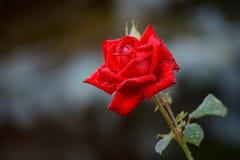 Одиночная яркая влажная красная роза с листьями и много сияющей водой Стоковые Изображения