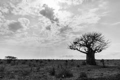 Одиночное дерево баобаба в национальном парке Tsavo Стоковая Фотография RF