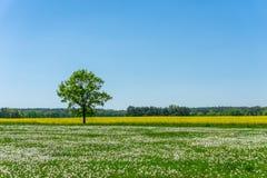 Одиночное дерево между лугом вполне увяданных одуванчиков и желтого поля рапса Стоковое фото RF
