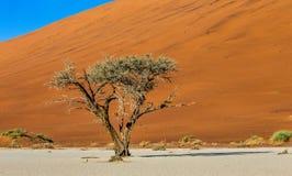 Одиночное дерево на предпосылке красивой дюны Оглушать свет и цвет вышесказанного Ландшафты Намибии стоковое изображение