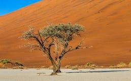 Одиночное дерево на предпосылке красивой дюны Оглушать свет и цвет вышесказанного Ландшафты Намибии стоковое фото
