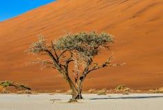 Одиночное дерево на предпосылке красивой дюны Оглушать свет и цвет вышесказанного Ландшафты Намибии стоковое изображение rf