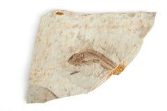 Одиночное ископаемый рыб Стоковое Изображение RF