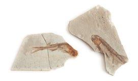 Одиночное ископаемый рыб Стоковая Фотография RF