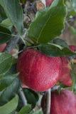 Одиночное торжественное яблоко Стоковые Изображения RF