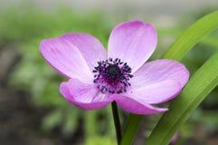 Одиночное фиолетовое орнаментальное coronaria de Кан ветреницы в цветени стоковые фотографии rf
