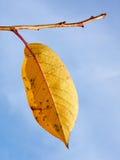 Одиночные желтые листья вала вишни Стоковые Изображения RF
