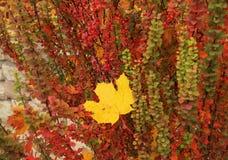 Одиночные желтые лист упали в красочный куст, осень Стоковые Фото