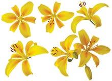 Одиночные желтые цветки лилии на белой предпосылке стоковые фотографии rf