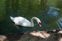 Одиночные жизни лебедя в пруде Стоковая Фотография