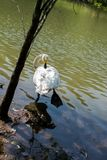 Одиночные жизни лебедя в пруде Стоковое Изображение RF