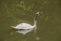 Одиночные жизни лебедя в пруде Стоковые Изображения RF