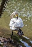 Одиночные жизни лебедя в пруде Стоковые Изображения