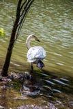 Одиночные жизни лебедя в пруде Стоковые Фото