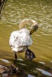 Одиночные жизни лебедя в пруде Стоковое Изображение
