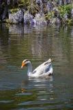 Одиночные жизни лебедя в пруде Стоковое фото RF
