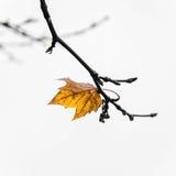Одиночные листья Стоковая Фотография