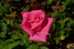 Одиночные розовые розы Стоковая Фотография RF