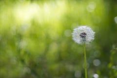 Одиночный белый пушистый цветок одуванчика стоковое фото rf