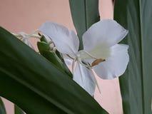 Одиночный белый цветок мин Gerais стоковые фото