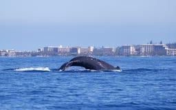 Одиночный горбатый кит ныряет в океан перед Мауи Coastlin стоковые фотографии rf